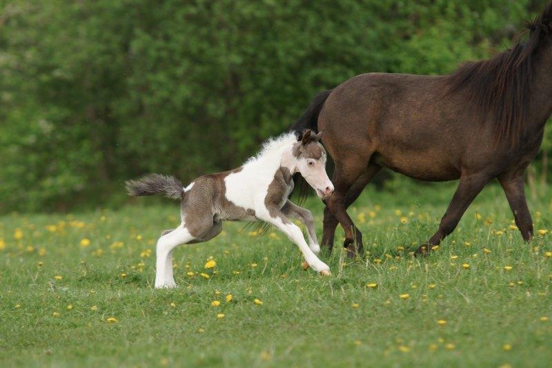 Жеребенок американской мини лошадки,рожден в хозяйстве Идальго