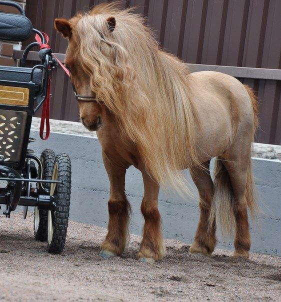 Продается европейская миниатюрная лошадка Винни ( Winny)  75 cм в холочке, запрягается в легкий экипаж. Имеет племенные документы с полным происхождением. Спокойная, чудесная девочка. http://mini-pony.ru/