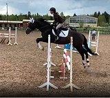 Надежный конкурный конь для любого всадника