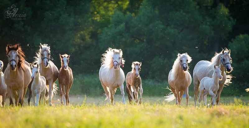 """Табун уэльских маток с жеребятами. ПХ """"Верона"""". Фото Алексии Хрущевой"""