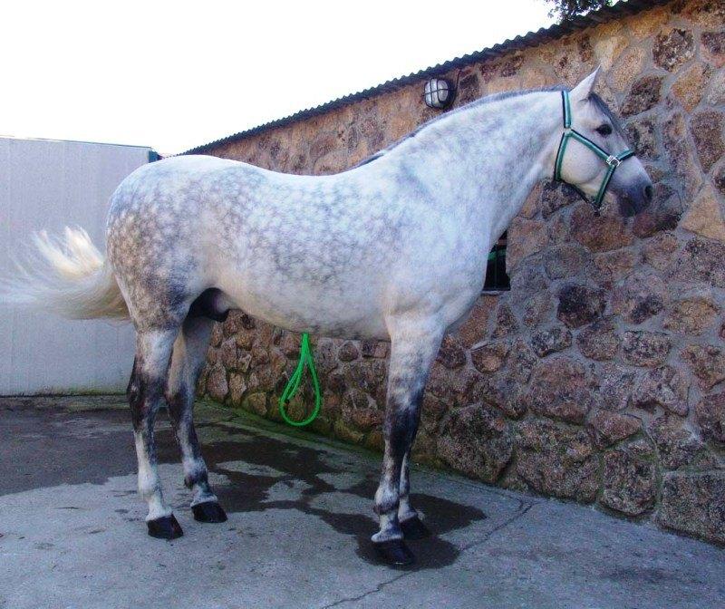 Kalli очень хорошо сложен для Андалуза, стоит на мойке. )))