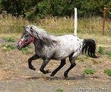 Кобыла Аппалуза-пони.