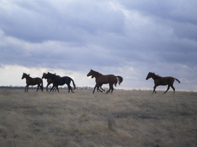 Буденоввский конный завод
