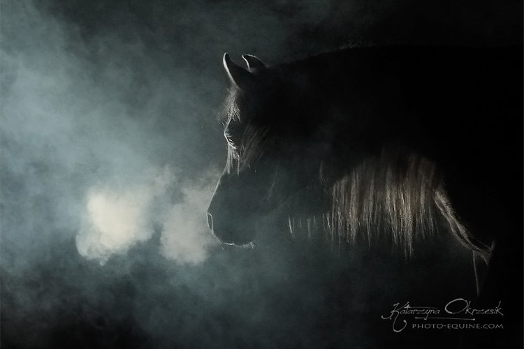 Arabian stallion El Salamo. Poland
