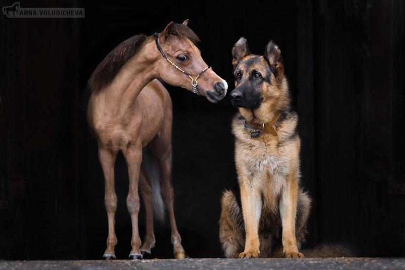 Вот такие бывают лошади, не больше собаки =) Американский миниатюрный жеребец Каприз.