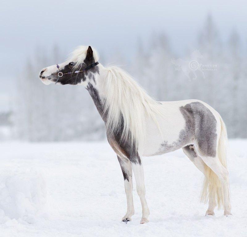 Американская миниатюрная лошадь,голубоглазая красавица Eyes Like Yours. Принадлежит ЧК Идальго.