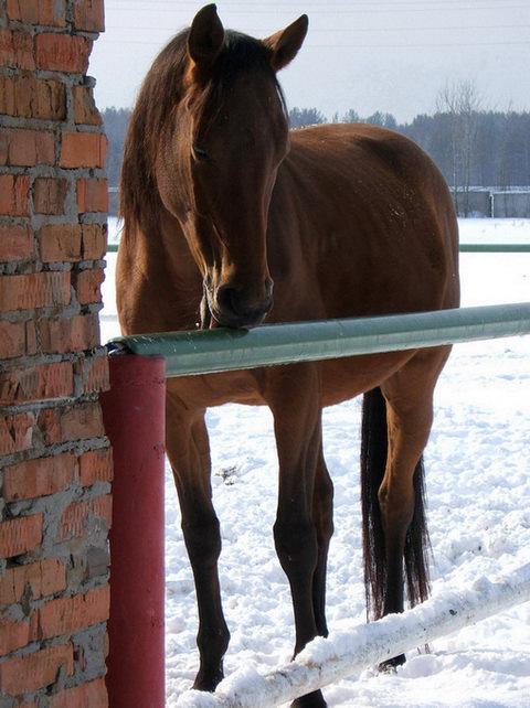 Лошадь олизывает ограждение