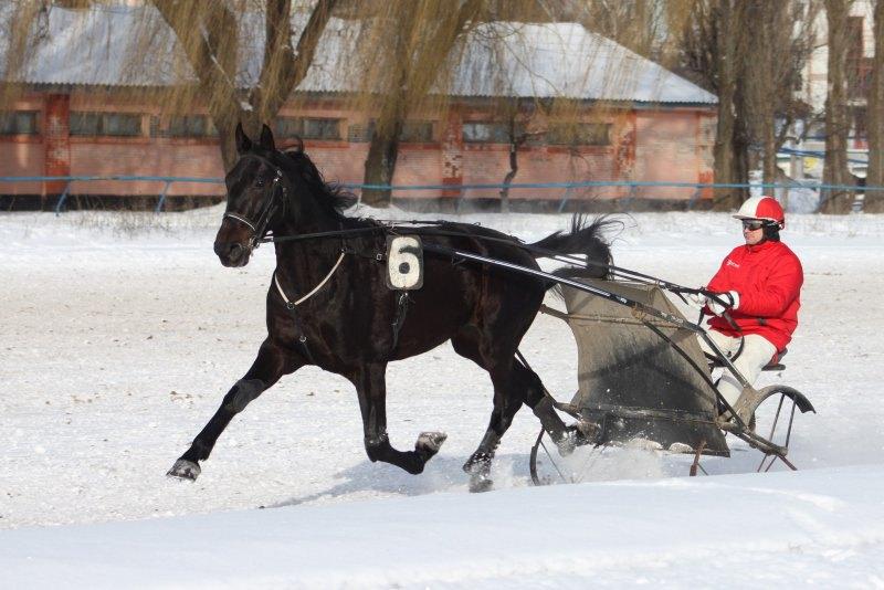 Русский рысак Губернатор на проминке перед своей победой в заезде. 26 января 2014