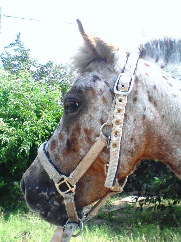 Кобыла породы аппалуза-пони