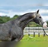 Очень привязчивый, добрый и трепетный конь.