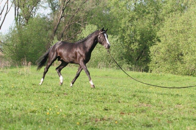 Ещё 1 мой конь-вороной красавчик,на корде