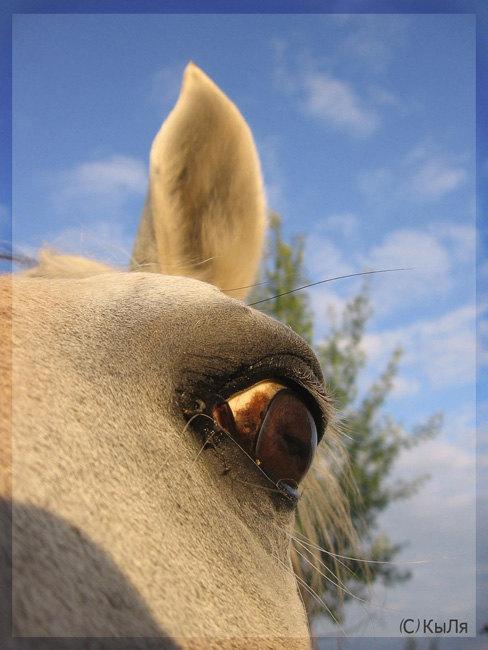 КСК Гармония,лошадь принадлежит ЧВ