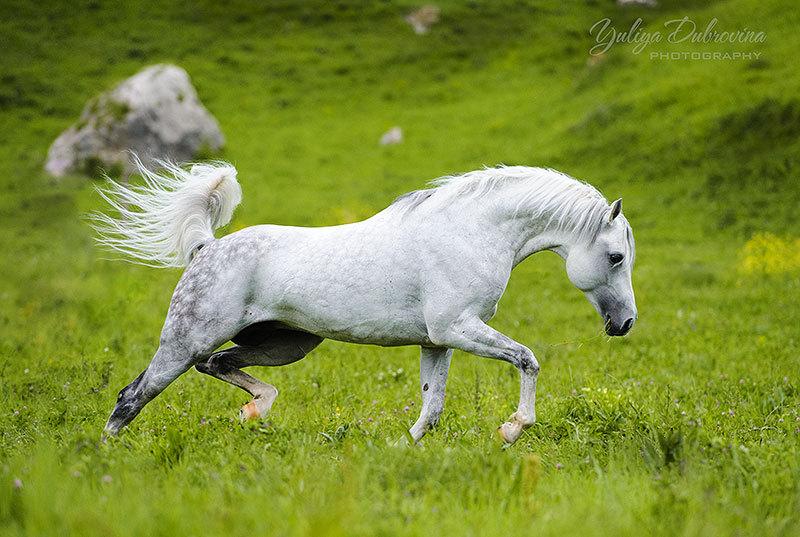 """Лучше гор могут быть только кони. Жеребец Натиск, КБ """"Орайда"""", КЧР, семинар Е.Друзь"""