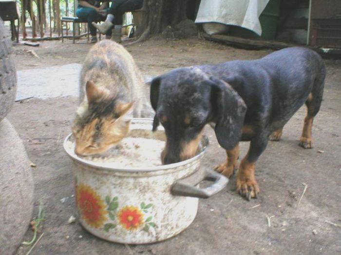 Тренерская такса и Кошка хавают остывающий Герин обед.