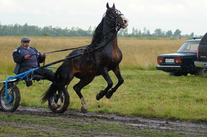 Орловский жеребец Буклет(Крестник-Бабочка)