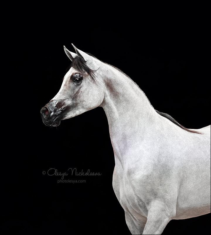 International arabian show. Hipposphere 2016  © Olesya Nickolaeva 2016 photolesya.com