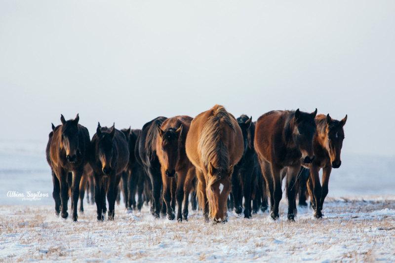 Табун карачаевских лошадей