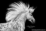 Невероятно красивый мерин пони-класса, ЛО