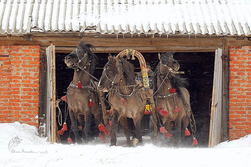 Вятская тройка мышастых жеребцов слева на право - Тибет, Резвый, Гобелен. Больше фото здесь - http://vk.com/album-35106501_171213008