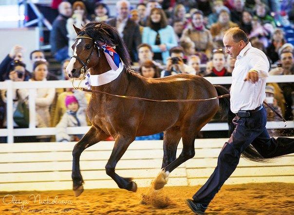 Иппосфера 2014 . Чемпион среди уэльских пони  Springstar Jarno  и его хендлер Валерий Юрченко.