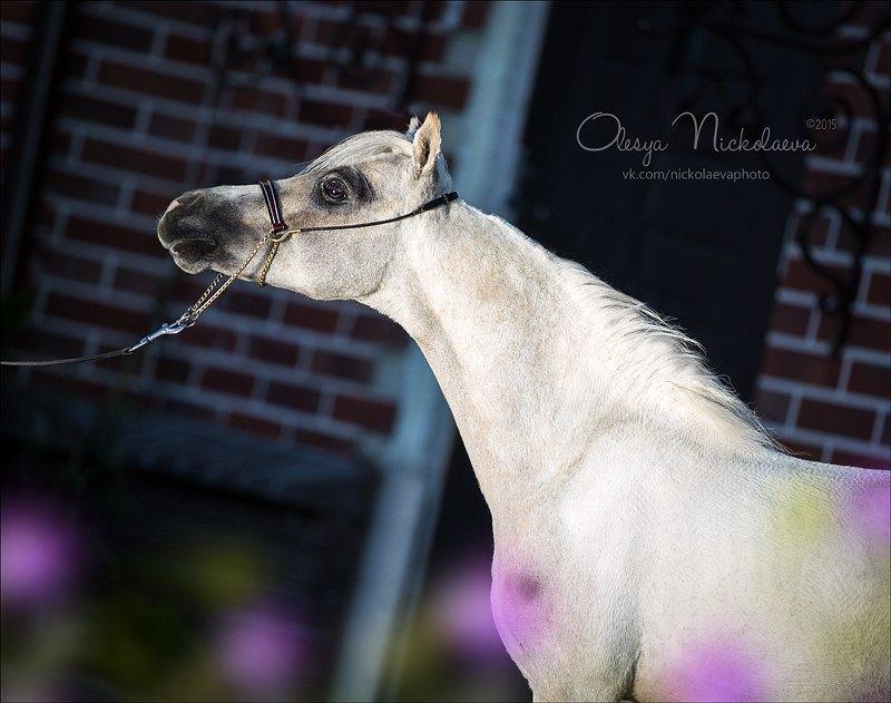 AMHA  -Американская миниатюрная лошадь,жеребец HF Shoshone Little Prince,рожден в 2013 г на пони ферме Идальго