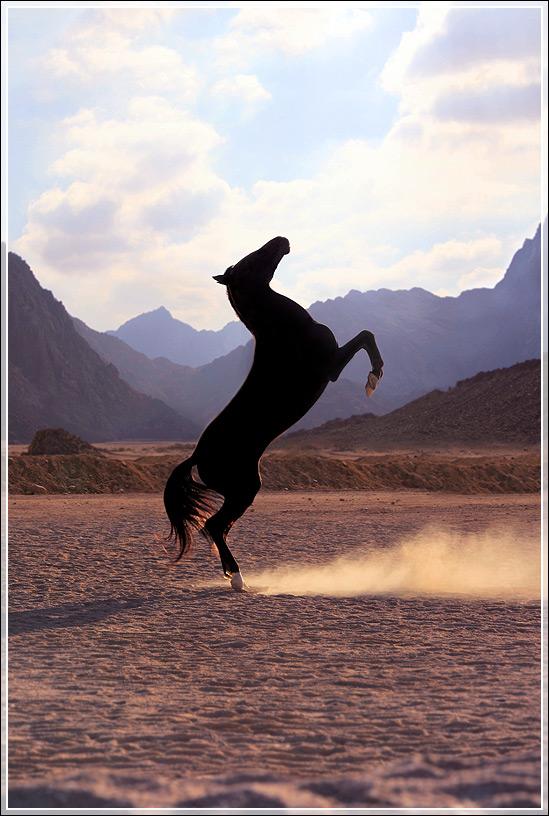 Магия арабской лошади фото