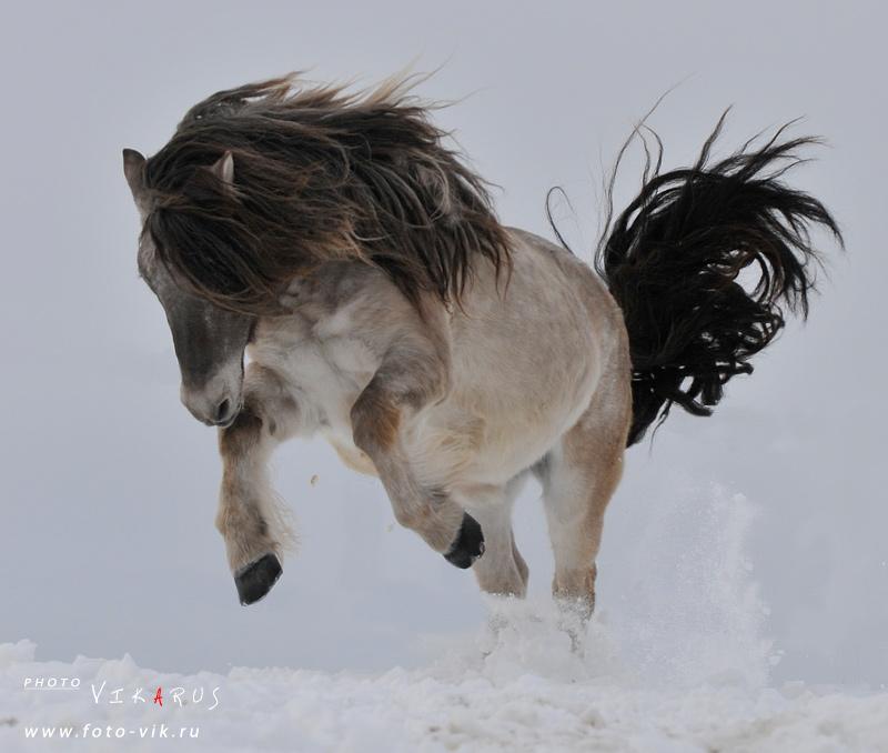 Якутская лошадь.  Шмель.