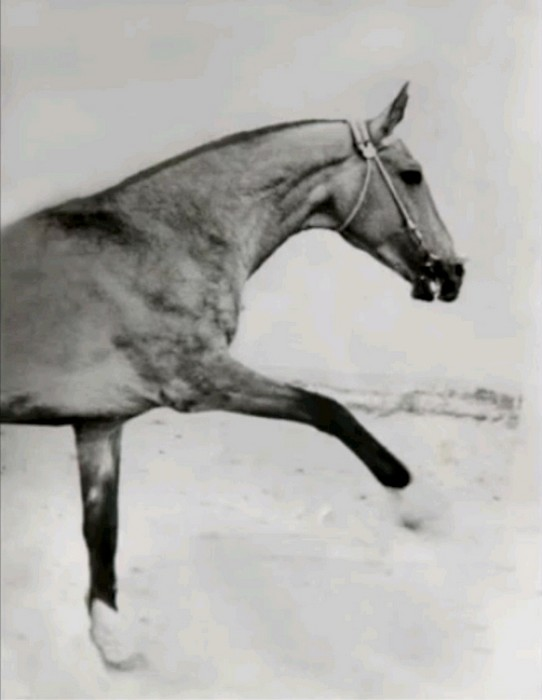 archive photo of great sire Sere, MAAK.ru