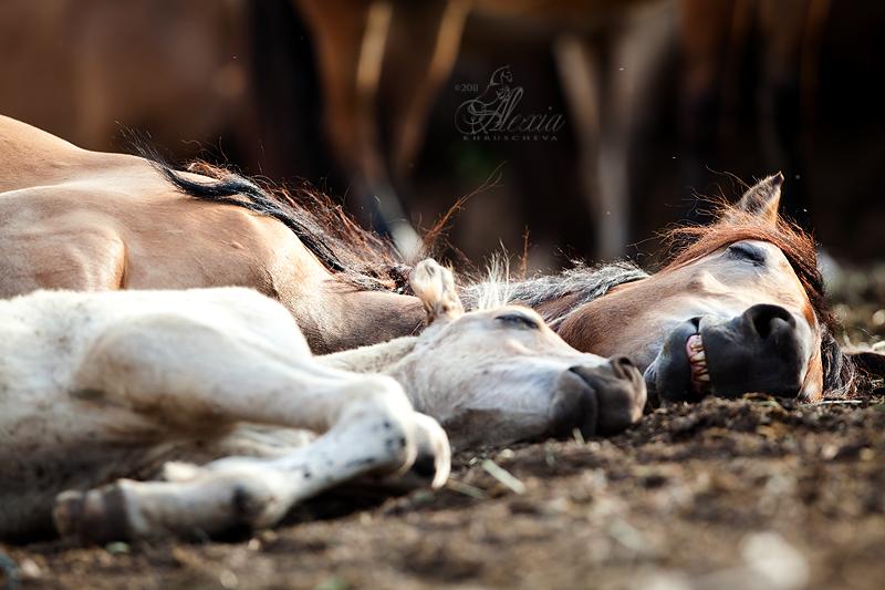 Как лошади спят – стоя или лежа?