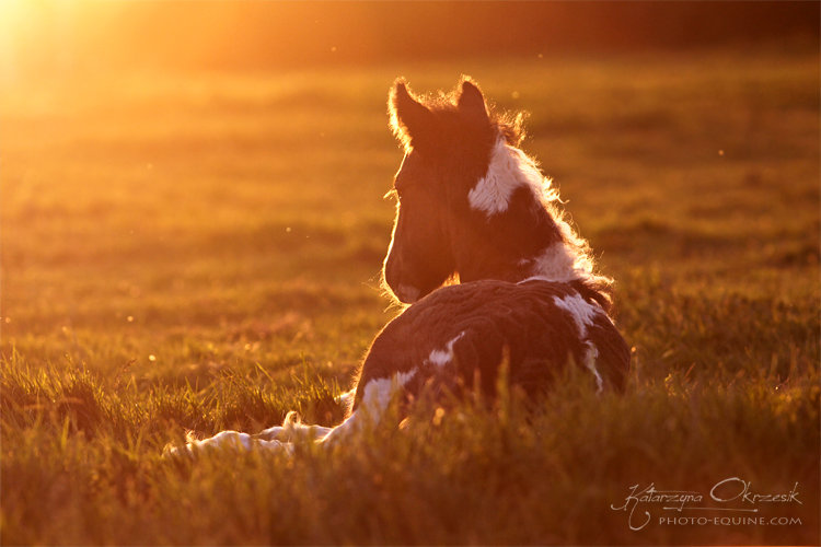 Gypsy Cob. UK