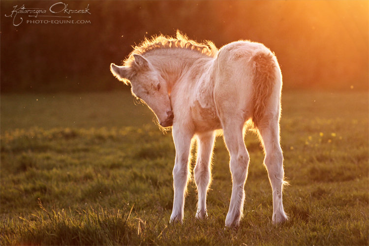 Pearl Gypsy Cob filly. UK