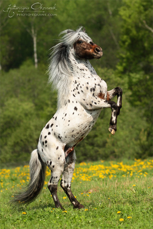 Appaloosa pony stallion. Russia