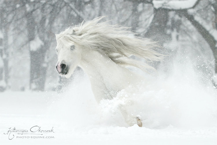 Welsh Pony stallion. Poland