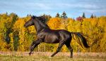 PRE (andalusian) stallion Duque N, breeded by Yeguada Nieto. Owner Olga Platonova.
