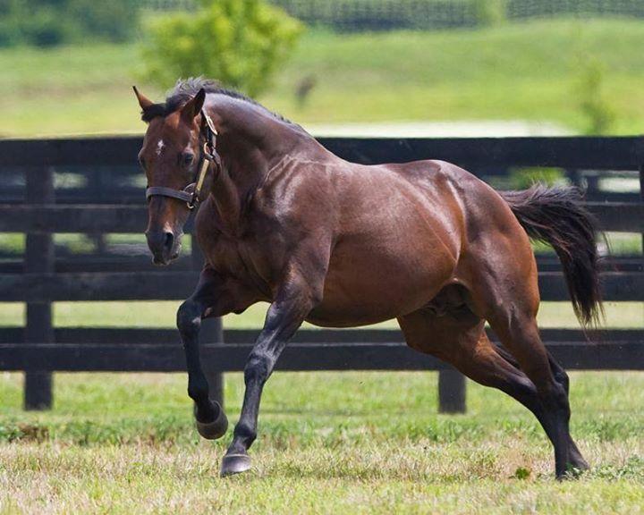 английская чистокровная лошадь и картинки к ним