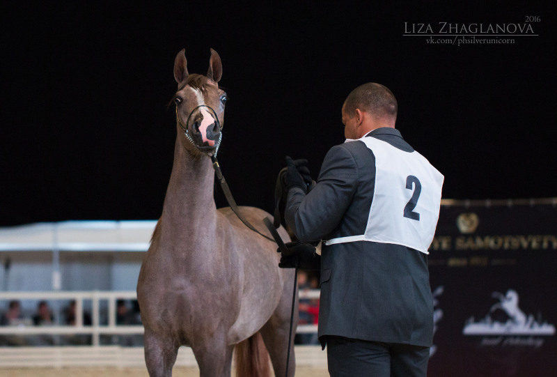 Saint-Pete international arabian cup, HIPPOSPHERE 2016