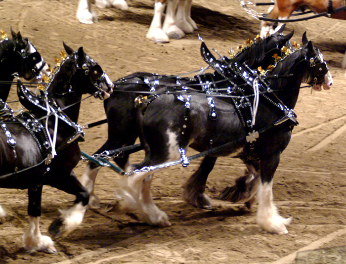 ��� ��������� ��������� �������. �������� ��� ������. ����������� Clydesdale, Shire, Percheron, Belgian Draft. ��� �� ��� ��� �������, � ���� �� ����:)