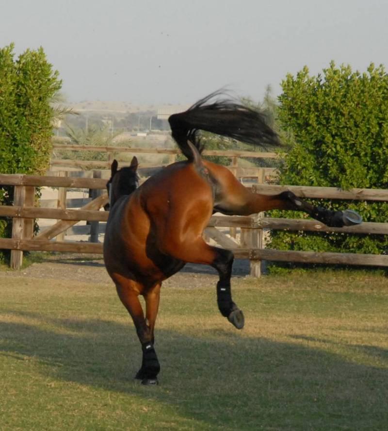 картинки лошади гнедые